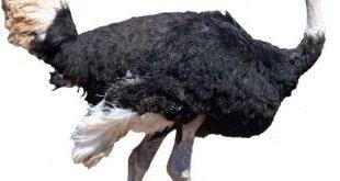 پرورش شترمرغ